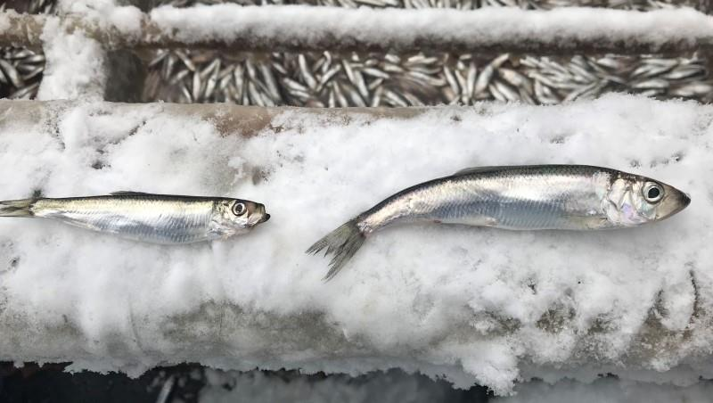 Freshly caught sprat (left) and herring (right).