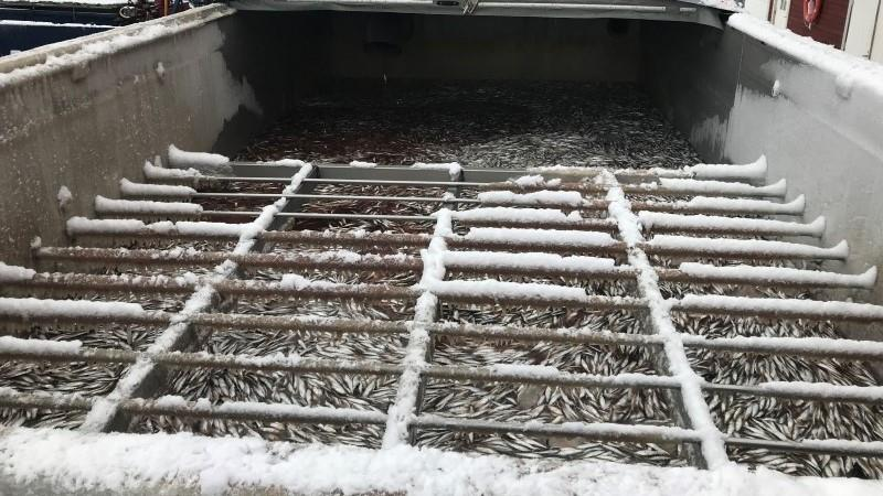 Responsibly harvested fresh fish for processing of fish meal and fish oil.